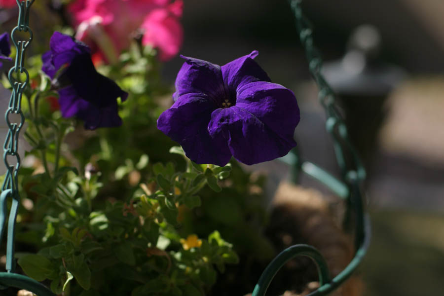 Purple Flower (50mm, f/2.8, 1/1600 sec) <!--107_0712.CRW-->
